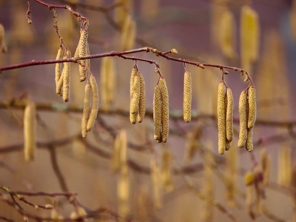 Die Haselnussblüte ist ein Zeichen für den Vorfrühling