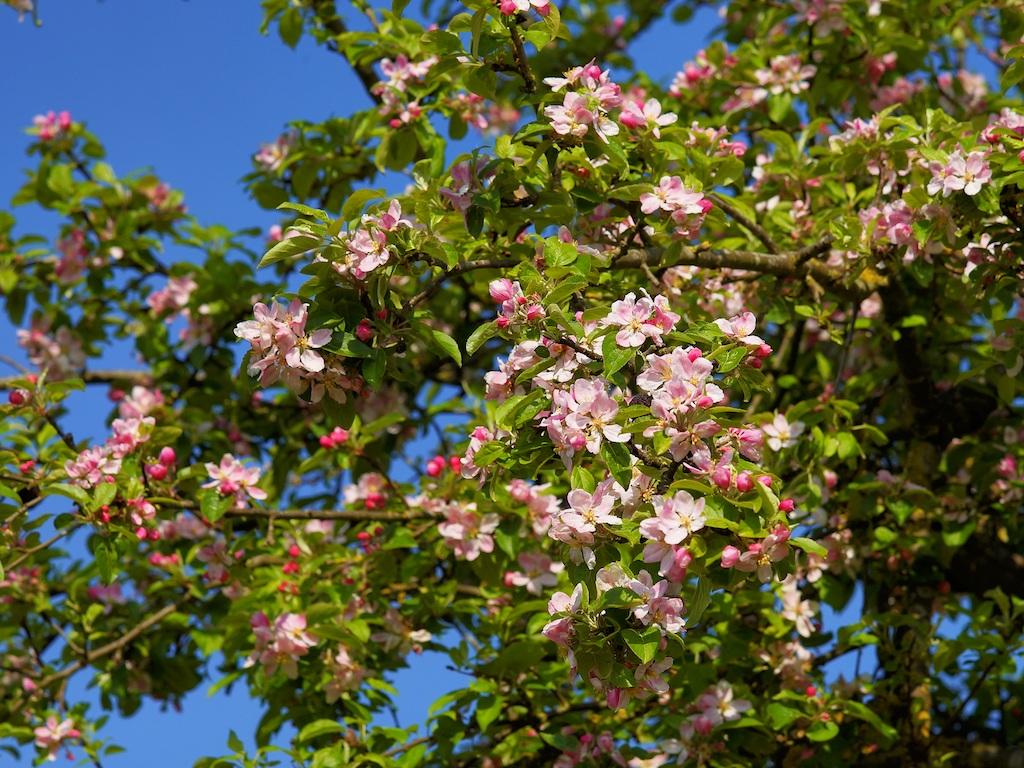 Die Apfelbaumblüte kündigt den Vollfrühling an
