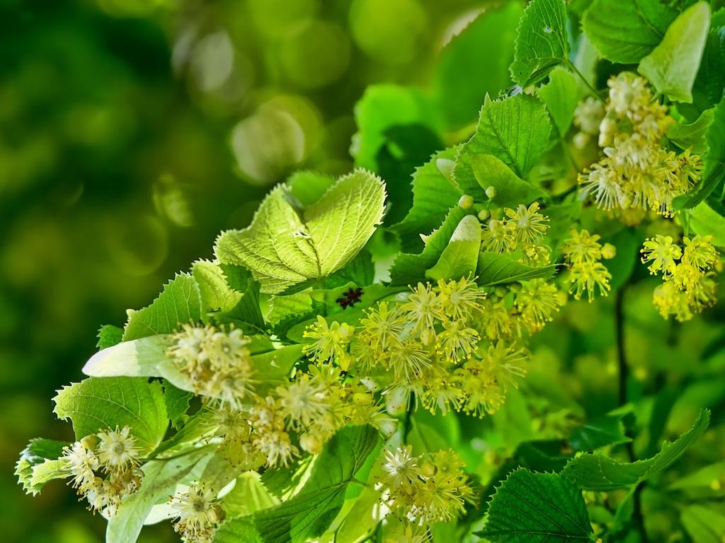Wenn die Linden blühen beginnt der Hochsommer