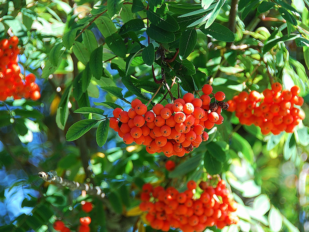 Reife Früchte der Eberesche